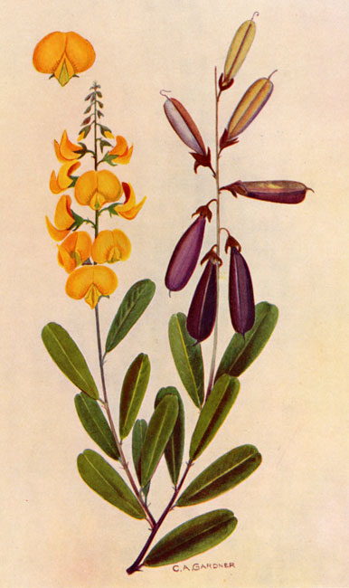 Crotalaria retusa australian botanical illustration for Www gardner com