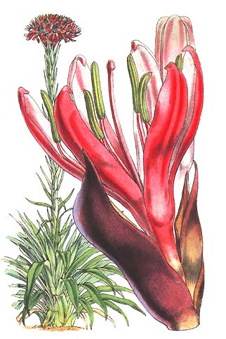 illustration: Doryanthes excelsa