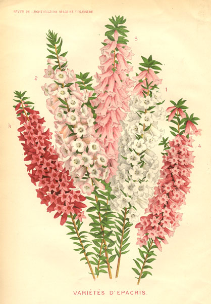 illustration: Epacris impressa