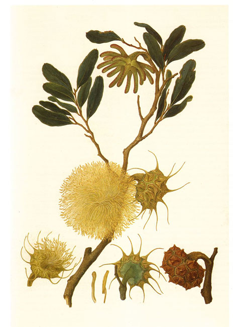 illustration: Eucalyptus conferruminata