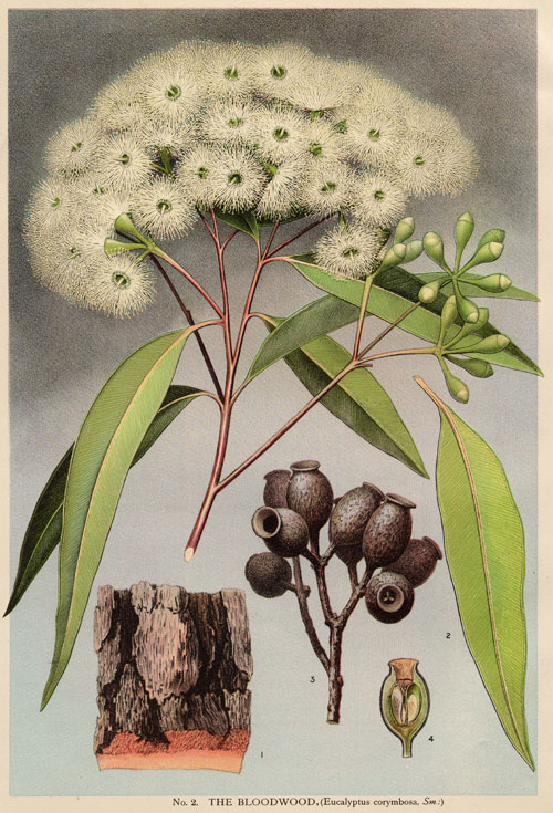 illustration: Corymbia gummifera