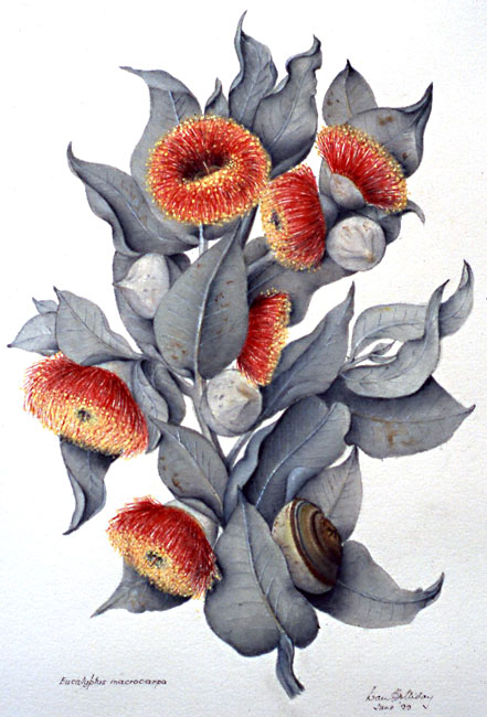 illustration: Eucalyptus macrocarpa