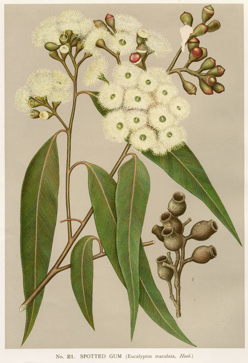 illustration: Corymbia maculata