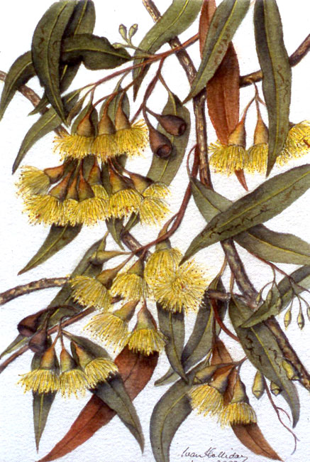 illustration: Eucalyptus petiolaris