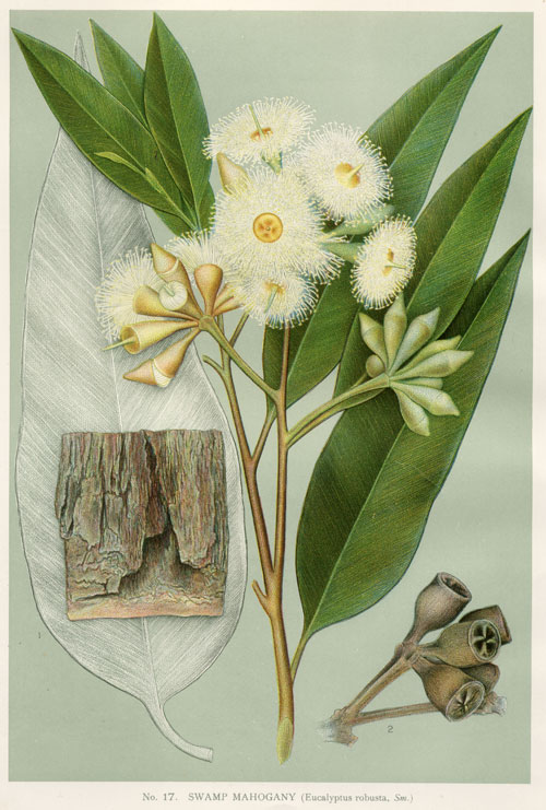 illustration: Eucalyptus robusta