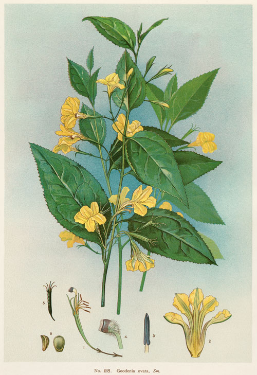 illustration: Goodenia ovata