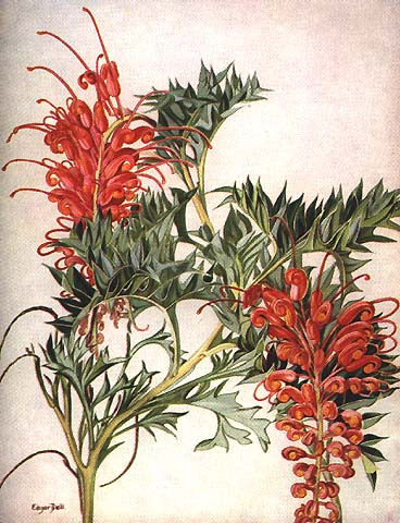illustration: Grevillea bipinnatifida