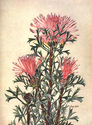 illustration: Isopogon dubius