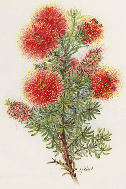 illustration: Kunzea baxteri
