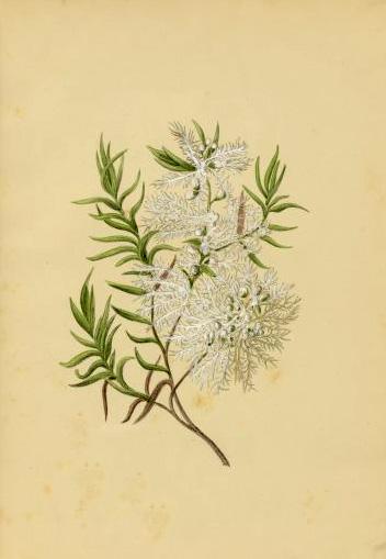 Melaleuca Linariifolia Australian Botanical Illustration