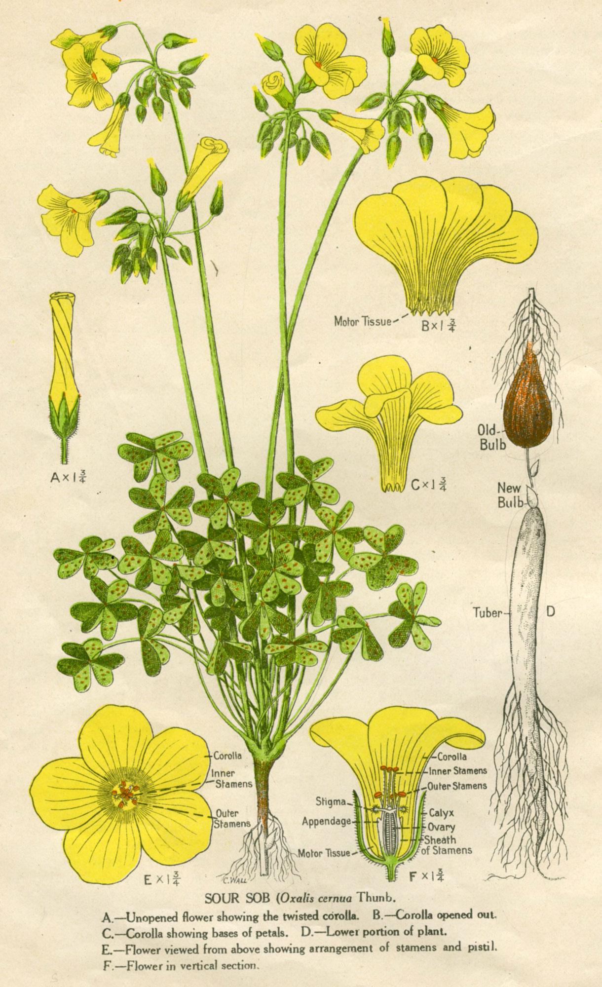 Oxalis Pes Caprae Australian Botanical Illustration