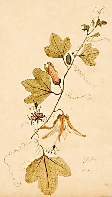 illustration: Passiflora aurantia
