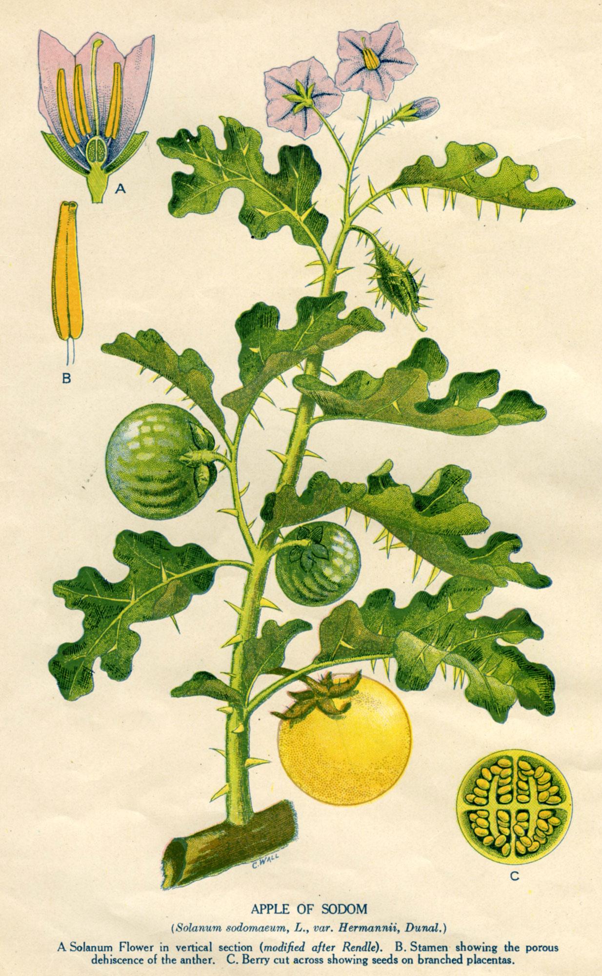 Solanum Linnaeanum Australian Botanical Illustration