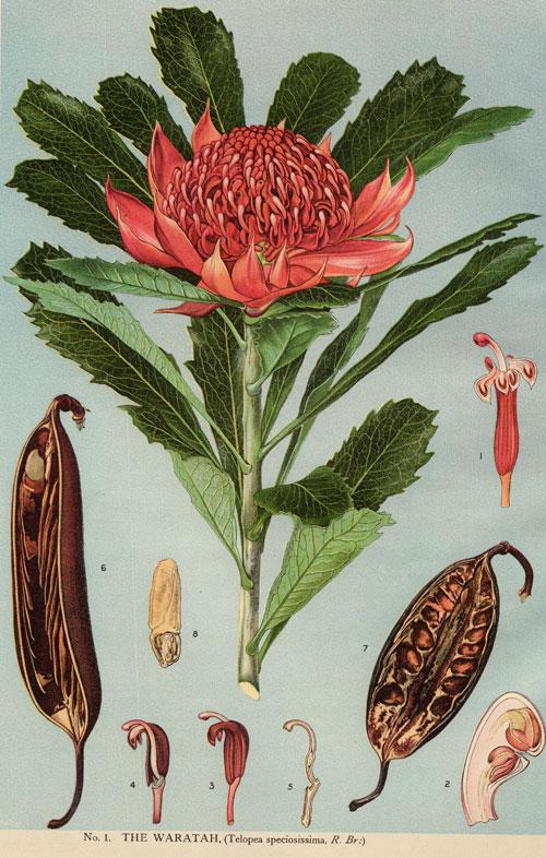 Telopea Speciosissima