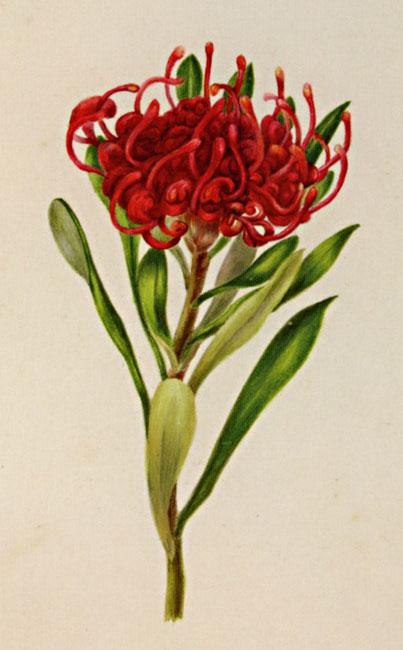 Telopea Truncata Australian Botanical Illustration Art