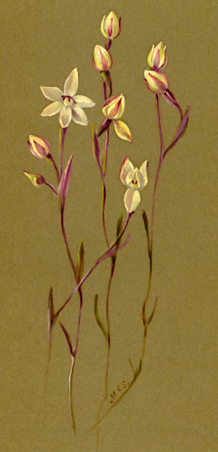illustration: Thelymitra  antennifera