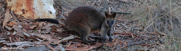 Swamp Wallaby