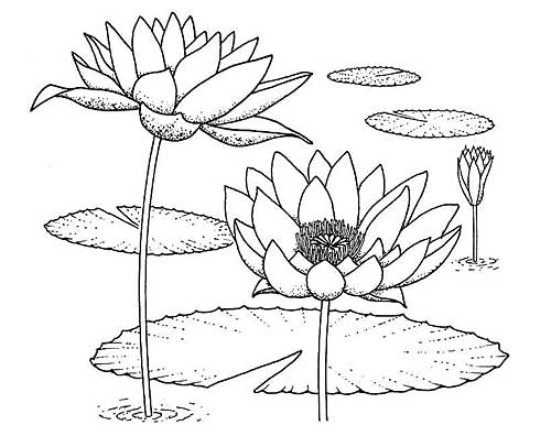 Lily Leaves Drawing Water Lilies