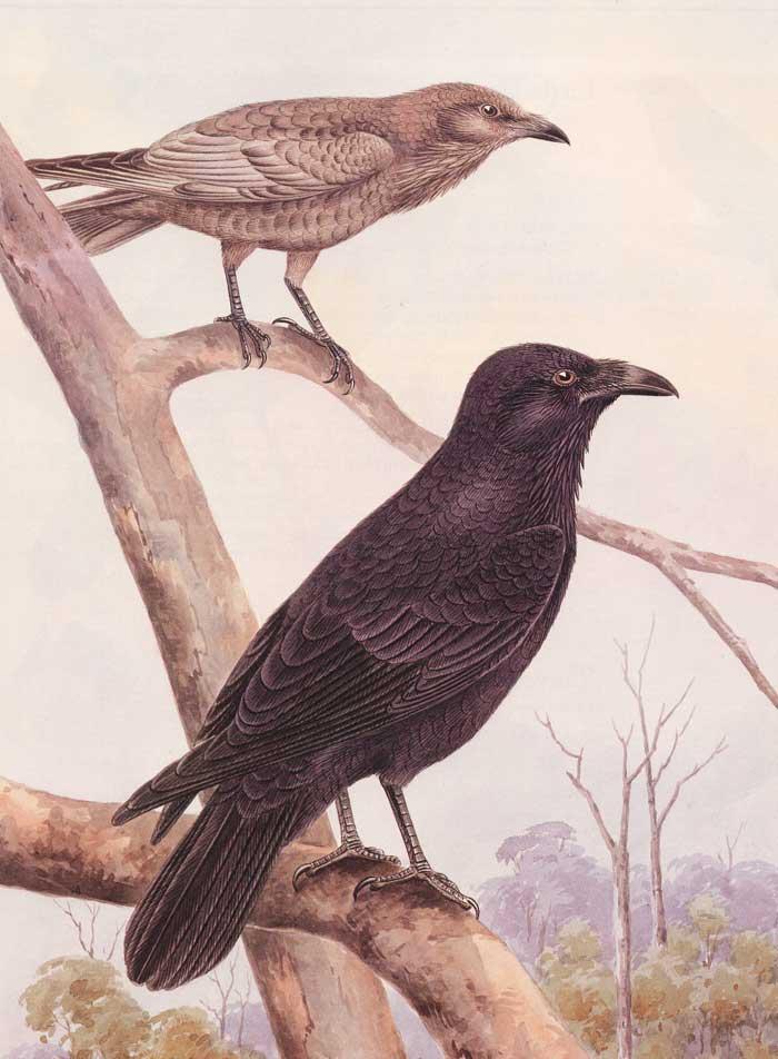 Australian Raven Cayley Painting