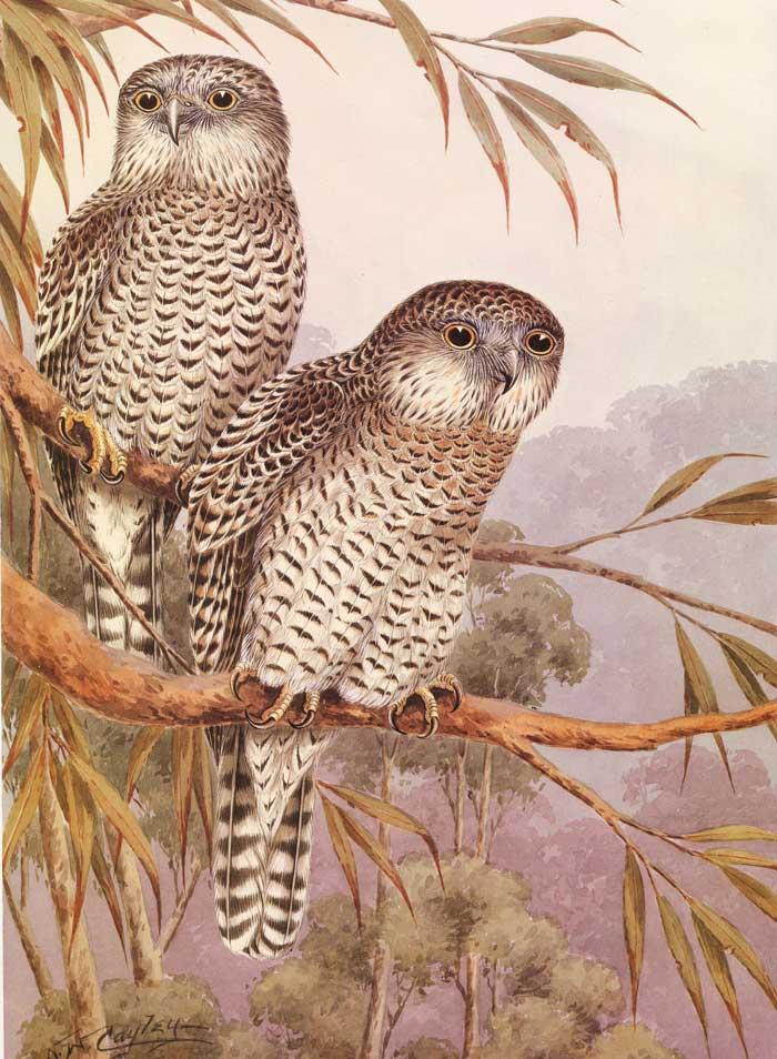 Powerful Owl - Cayley ...