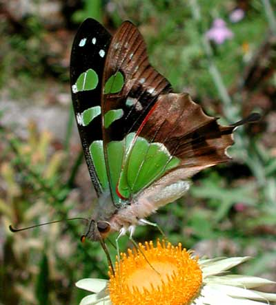 Macleay Swallowtail Butterfly, Photo: © Tony Woods