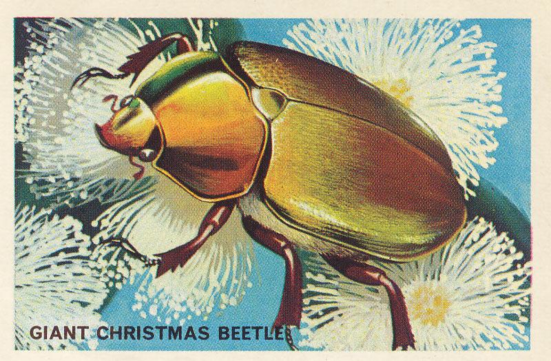 Australian Christmas Beetle.Beetles Australian National Botanic Gardens Home Page