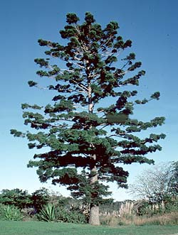 photo of tree Araucaria cunninghamii