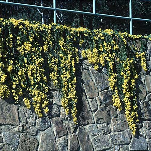 Enchylaena Tomentosa Growing Native Plants