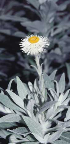 photo: Helichrysum 'Helping Hand'