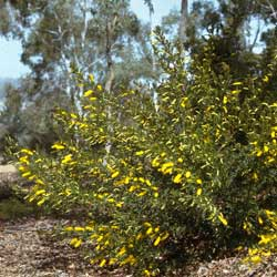 Acacia drummondii shrub
