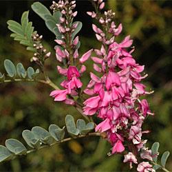 Indigofera Australis Growing Native Plants