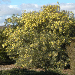 Acacia Iteaphylla Growing Native Plants