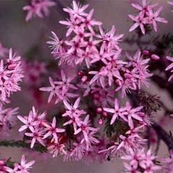 Calytrix Tetragona Growing Native Plants