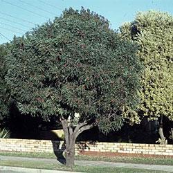 Hakea laurina - Growing Native Plants