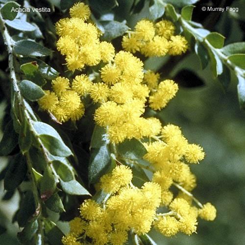 Acacia Vestita Growing Native Plants