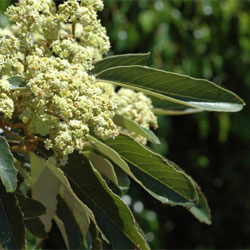 Alphitonia Excelsa Growing Native Plants