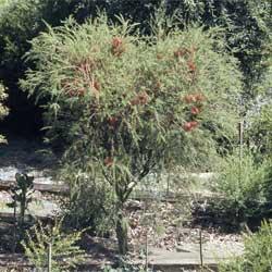 Melaleuca Lateritia Growing Native Plants