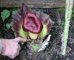 Photo of Amorphophallus paeoniifolius - click for more