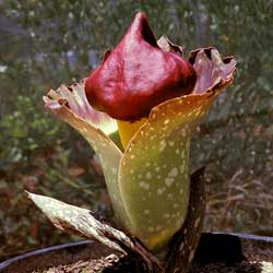 Amorphophallus Paeoniifolius Growing Native Plants