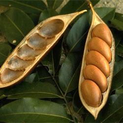Image result for black bean pod