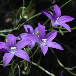 Photo Of Wahlenbergia Gloriosa Click For More