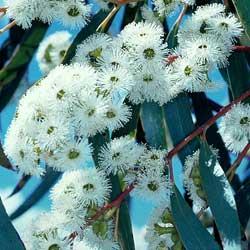 Eucalyptus pauciflora growing native plants eucalyptus pauciflora mightylinksfo