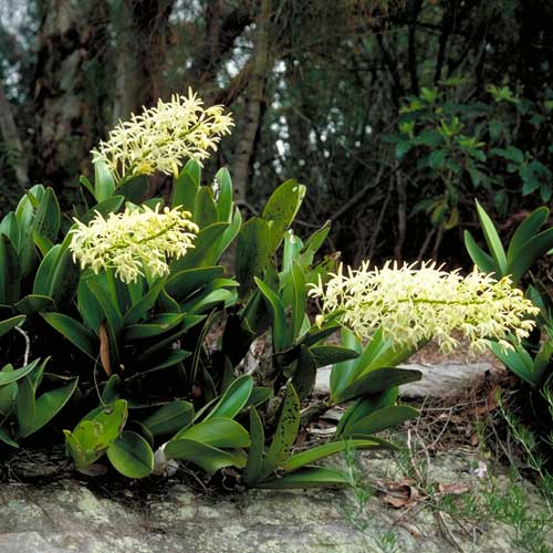 photo: Thelychiton speciosum