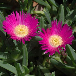 Carpobrotus glaucescens - Growing Native Plants