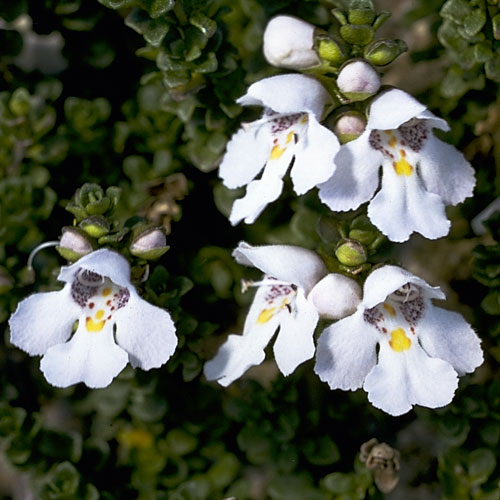 Prostanthera Cuneata Growing Native Plants