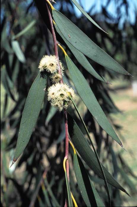 Eucalyptus Lacrimans Growing Native Plants