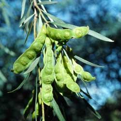 Acacia Pendula Growing Native Plants