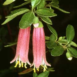 Correa dusky bells growing native plants correa dusky bells mightylinksfo