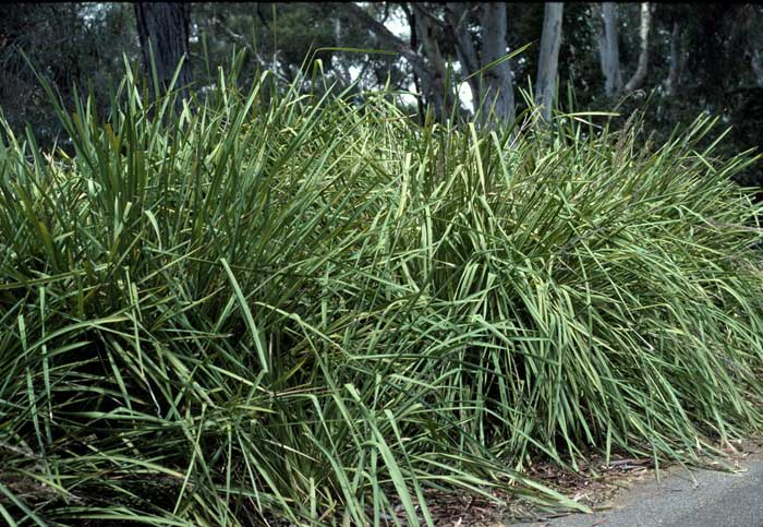 Lomandra Longifolia Growing Native Plants