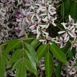 Melia azedarach growing native plants melia azedarach mightylinksfo Gallery